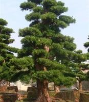 (湖南精品造型园)罗汗松 愉树 对接白腊 红继木桩 石楠桩