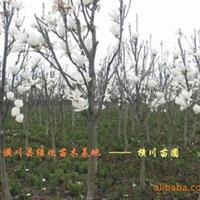 大量供应白玉兰、广玉兰、紫玉兰、耐寒香樟等