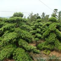 【市场价】规格10cm/12cm/18cm/20cm/30cm造型罗汉松