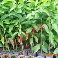 园林绿化,绿化工程,绿化苗木、芳香作物、白玉兰