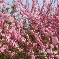 榆叶梅【 常年大量供应】优质大花重瓣榆叶梅厂