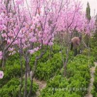 【低价供应】绿化花卉苗木灌木类美人梅(图)厂