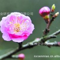 【低价供应】特价宁夏绿化苗木,乔木类【美人梅】