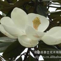 【景艺园林】绿化苗木 专业供应白玉兰