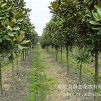 【景艺园林】绿化苗木 专业供应白玉兰厂