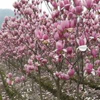 山东 济南 供应6公分玉兰以及其它规格的玉兰厂