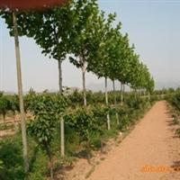 绿化苗木 山东 济南提供7公分法桐及其他苗木