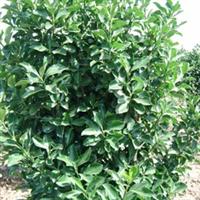 绿化苗木 山东 济南提供各种规格大叶黄杨等绿化苗木