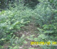 供应一年生红豆杉苗 扦插苗 播种苗 南方红豆杉大苗
