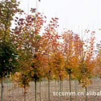 彩色苗木——红枫 红叶