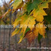 优价销售高档精品彩色苗木--美国改良红枫【价格优惠】厂