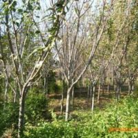 供应 绿化乔木 樱花厂
