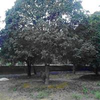 大量供应绿化苗木 精品桂花  种苗 名贵木苗