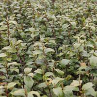 供应高20公分的扦插茶花