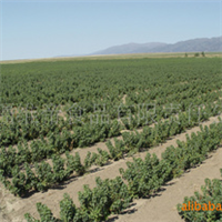 黑加仑苗木