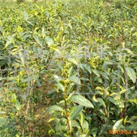 供应绿化苗木 茶花小苗 批发苗圃 种苗 油茶小苗