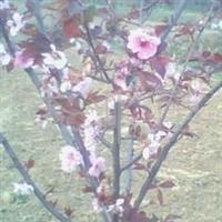美人梅、榆叶梅、合欢、碧桃、木瓜苗等绿化苗木厂