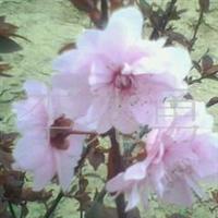 美人梅、榆叶梅、合欢、碧桃、木瓜苗等绿化苗木