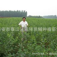 批发供应优质绿化苗木榆叶梅,支持混批