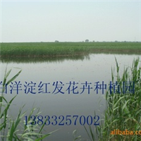 芦苇苗厂家 芦苇苗供应商 芦苇最低出售