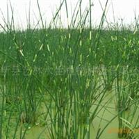 特卖品牌水生植物-锦秀天牌花叶水葱苗