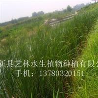 特卖品牌水生植物--锦秀天牌香蒲苗