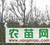 全冠白玉兰树报价 白玉兰价格较新 白玉兰绿化苗木