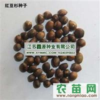长期提供销售绿化花卉种子--红豆杉种子