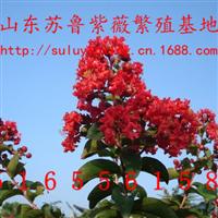 红火箭紫薇美国红火箭紫薇扦插苗