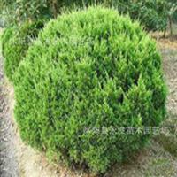 供应优质园林工程绿化苗木龙柏苗龙柏球龙柏条小叶女贞球价格