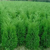 直销工程绿化苗木龙柏、蜀快、侧柏、沙地柏、各类绿化树苗
