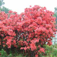 野生满山红杜鹃花苗杜鹃树桩映山红苗盆景庭院植物批发