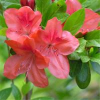 天然野生满山红杜鹃花杜鹃树桩映山红苗盆景庭院植物盆栽