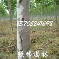 供应榉树朴树