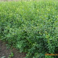 常年供应优质绿化苗木小叶女贞小叶水蜡