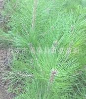 批发油松苗,【营养袋油松苗】20-30公分高,去西安百盛苗圃