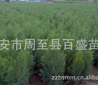西北苗木批发基地、绿化侧柏容器苗木、侧柏苗木陕西西安侧柏小苗