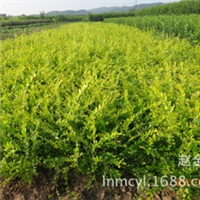 供应水腊苗夹植水腊金叶水蜡水腊绿篱苗
