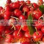 顺源苗圃批发供应山樱种子优质种子.泰安樱桃种子