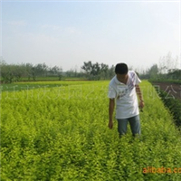 【特价销售】2012金叶女贞,黄叶女贞,规格3分支,金叶女贞球