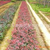 供应红叶石楠,红叶石楠小苗,红叶石楠球。红叶石楠基地