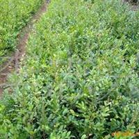 大量供应1m的八月桂花条