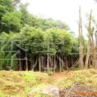 长期供应25cm的继生香樟树