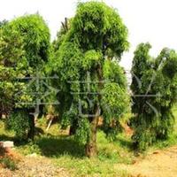 长期供应20公分的继生香樟树