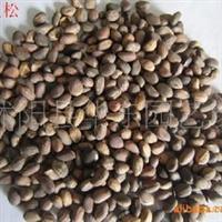 批发供应:马尾松种子,黑松种子,白皮松种子等常绿松树种子