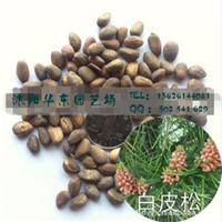 供应白皮松种子,高档松树种子,常绿松柏树种子