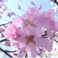 大量出售樱花种子,白皮松种子等绿化种子