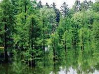 供池杉0.5-3.5米高6万株及水杉,落雨杉