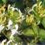 供金银花,栀子花,瓜子黄杨,黑藻