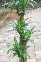 供应观叶造型盆景步步高巴西铁大绿植盆栽室内摆设盆栽